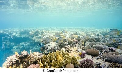 school of fish on coral garden in red sea, Egypt - school of...