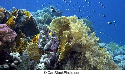 school of fish Sea goldie (Pseudanthias squamipinnis) and Bicolor Damselfish (Chromis dimidiata) swims over a coral reef in the background of blue water, Red sea, Sharm El Sheikh