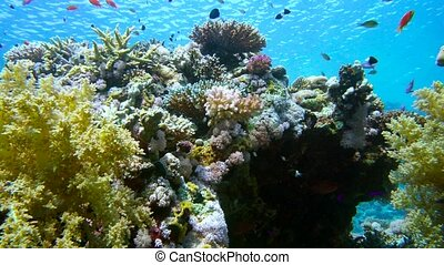 school of fish Sea goldie Pseudanthias squamipinnis and Bicolor Damselfish Chromis dimidiata swims over a coral reef in the background of blue water, Red sea, Sharm El Sheikh