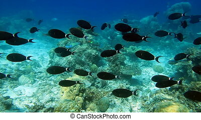 School of fish Surgeonfish and Parrotfish on the coral reef panorama