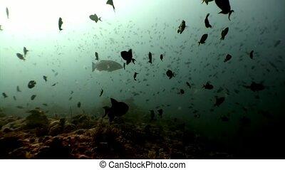 School of fish underwater on background of sun reflection n Maldives.
