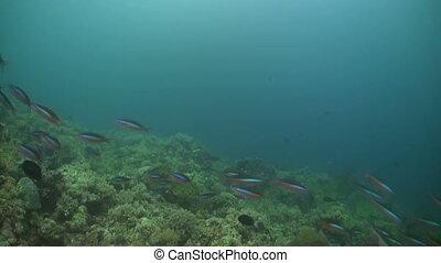 School of bluestreak fusiliers on a coral reef