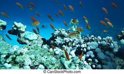 School of Glassfish Parapriacanthus ransonneti inside the...