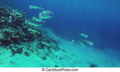 school of Indian mackerel feeding in Red Sea, Egypt