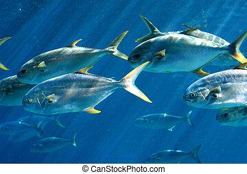 school of pompano fish - a school of pompano fish swimming...