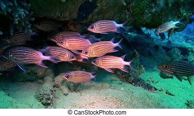 School of red striped fish on reef search of food.