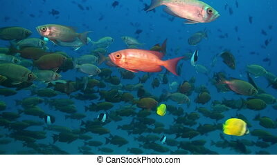 School of red tropical fish swim on reef in sea.