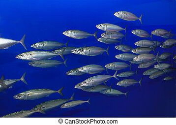 School of Sardines - School of sardines swimming with blue...