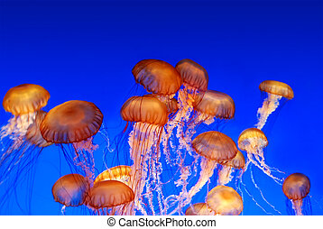 School of sea nettle jellyfish - Chrysaora fuscescens on blue background