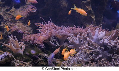 School of small goldfish. Coral reef on background