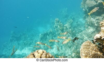 school of snappersfish on coral in red sea, Egypt - school...