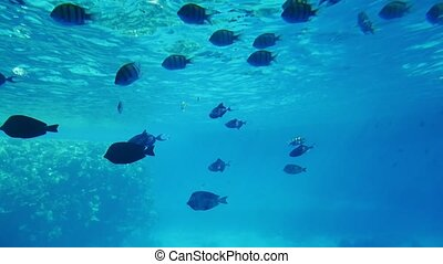 School of striped spherical fishes moving over reefs in...