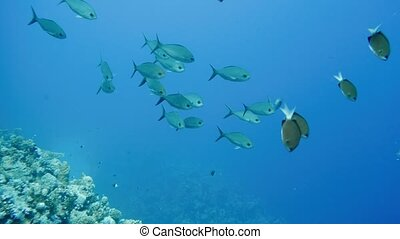 School of tropical fish in a colorful coral reef with water surface in background, Red sea, Egypt. 4k
