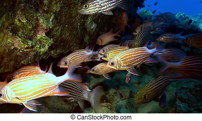 A flock school of tropical fish on the reef in search of food. Amazing, beautiful underwater marine life world of sea creatures in Red Sea. Scuba diving and tourism.