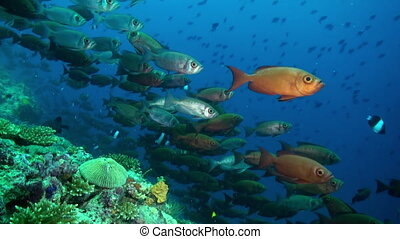A flock school of tropical fish on the reef in search of food. Amazing, beautiful underwater marine life world of sea creatures in Maldives. Scuba diving and tourism.