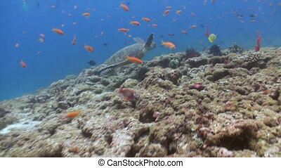 School of tropical fish on reef in search of food.