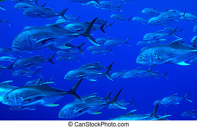 School of tuna fishes, Cuba