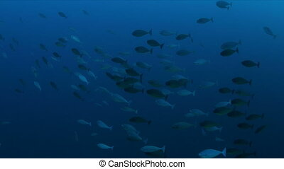 A school of Unicornfish swimming on a coral reef, 4k footage