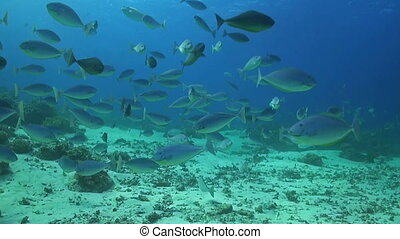 A school of Unicornfishes swimming on a coral reef