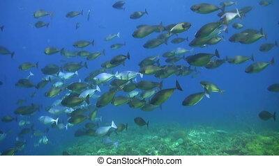 School of Unicornfishes