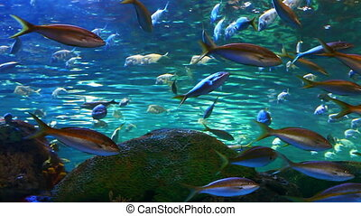 A view of school of Yellow-tailed Snapper