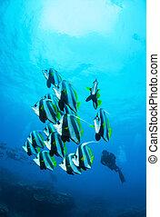 Schooling Coachmen and Diver
