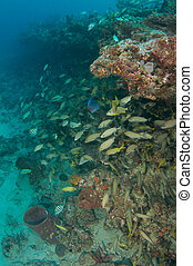 Schooling Grunt Fish on a coral reef ledge