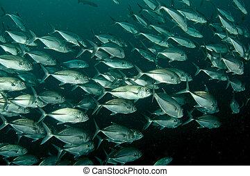 schooling jack fish