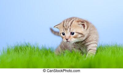 schots, weinig; niet zo(veel), tabby, groene, katje, gras
