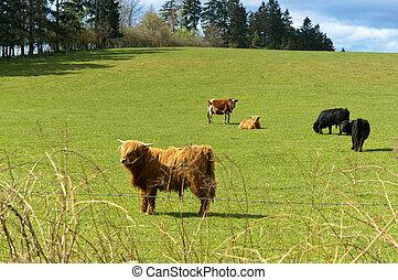 schottische , hochland, kühe weiden, in, a, feld, bei, der, wald, vieh, zucht, landwirtschaft, bauernhoftiere
