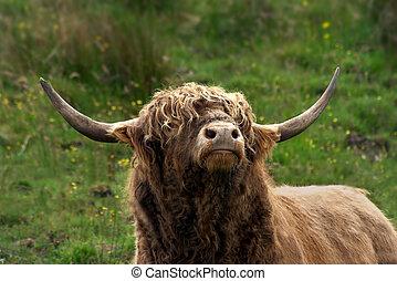 schottische , hochland, stier