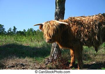 schottische , hochlandvieh