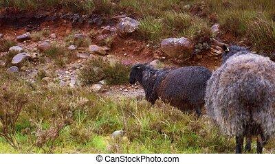 schottische , schwarz, schafe, in, schwerer regen, -, eingestuft, version
