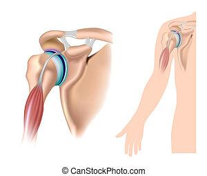 schouder, anatomie, eps10