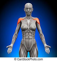 schouders, -, /, deltoid, vrouwlijk, anatom