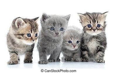 schuß., isolated., cats', junger, porträt, gruppe, studio