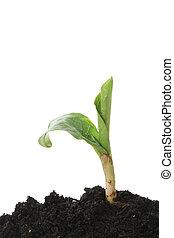 schuss, pflanze, grün