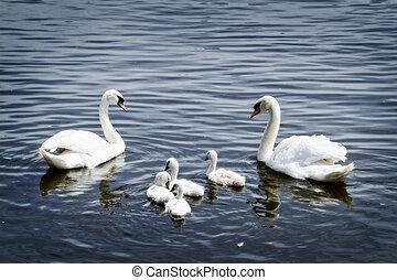 schwan, familie