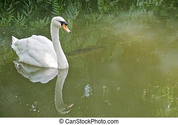 schwan, weißes