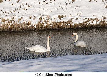schwan, winterlandschaft, zwei