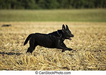 schwarz, apportierhund