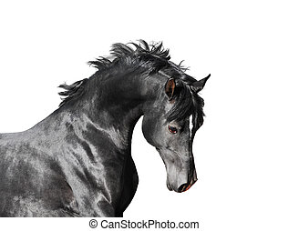 schwarz, araber, hengst, pferd, freigestellt, weiß, hintergrund