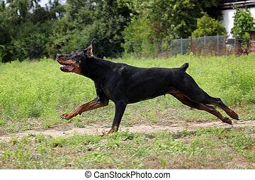 schwarz brauner Dobermann laeuft ueber eine Wiese