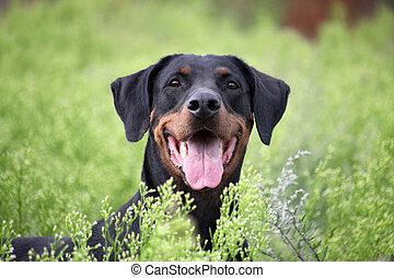 schwarz brauner Dobermann liegt auf einer Wiese