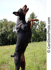 schwarz brauner Dobermann springt auf einer gruenen Wiese in...
