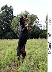 schwarz brauner Dobermann springt auf einer Wiese in die...