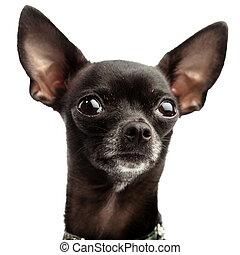schwarz, chihuahua