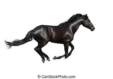schwarz, galoppieren, pferd, weißes