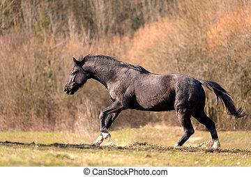 schwarz, hengst, pferd, laufen, frei, und, galopping, mächtig, in, madow