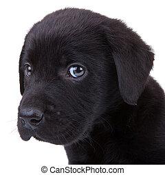 schwarz, junger hund, labradorhundapportierhund